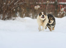 Two funny dogs are running happily over the white snow. In the winter royalty free stock image