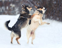Two funny dogs are running happily over the white snow. In the winter stock photography