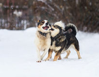 Two funny dogs are running happily over the white snow. In the winter royalty free stock photography