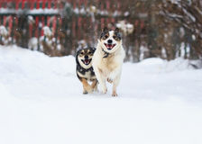 Two funny dogs are running happily over the white snow. In the winter royalty free stock photos