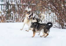 Two funny dogs are running happily over the white snow. In the winter stock photo
