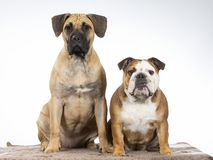 Two dogs in a studio. Two funny dogs sitting in a studio. Best friends as a team stock photos