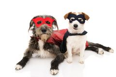 TWO FUNNY DOGS SUPER HERO COSTUME. JACK RUSSELL AND PUREBRED WEARING A RED AND BLUE MASK AND A CAPE. CARNIVAL OR HALLOWEEN. ISOLATED STUDIO SHOT AGAINST WHITE royalty free stock photos