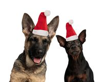 Two funny dogs wearing santa claus hats royalty free stock photo