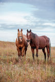 Two funny face horses Stock Images