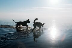 Free Two Funny Friendly Dogs Are Swimming In The Water. Royalty Free Stock Images - 183413859