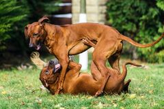 Two funny friendly Rhodesian Ridgeback dogs playing, running, chasing. Two funny friendly Rhodesian Ridgebacks dogs playing, running, chasing stock photo