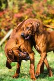 Two funny friendly Rhodesian Ridgeback dogs playing, running, chasing. Two funny friendly Rhodesian Ridgebacks dogs playing, running, chasing royalty free stock images