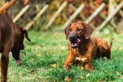 Two funny friendly Rhodesian Ridgeback dogs playing, running, chasing. Two funny friendly Rhodesian Ridgebacks dogs playing, running, chasing royalty free stock photography