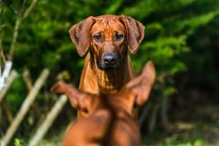 Two funny Rhodesian Ridgebacks dogs playing, running, c. Two funny friendly Rhodesian Ridgebacks dogs playing, running, chasing, watching stock photography