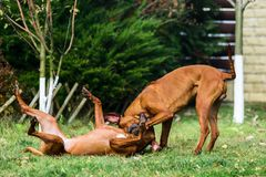 Two funny friendly Rhodesian Ridgeback dogs playing, running, chasing. Two funny friendly Rhodesian Ridgebacks dogs playing, running, chasing royalty free stock photos
