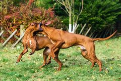 Two funny Rhodesian Ridgebacks dogs playing, running, c. Two funny friendly Rhodesian Ridgebacks dogs playing, running, chasing stock images