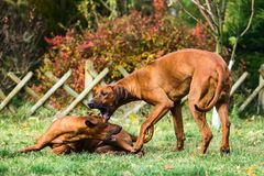Two funny Rhodesian Ridgebacks dogs playing, running, c. Two funny friendly Rhodesian Ridgebacks dogs playing, running, chasing royalty free stock image