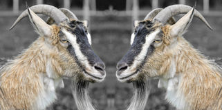 Two funny goats Royalty Free Stock Photography