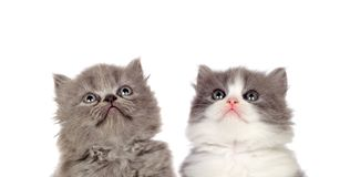 Two funny grey cats. Lookin up isolated on a white background royalty free stock photo