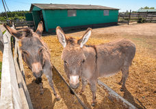 Two funny grey donkey on the donkey farm. Two donkeys looking at the camera Royalty Free Stock Images