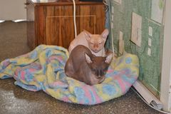 Two funny grey sphinx cats . animal royalty free stock photos