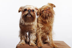 Two funny Griffons stock photo