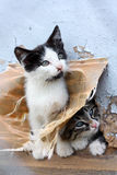 Two funny homeless playful kitten Royalty Free Stock Photo