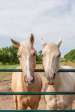 Two funny horses. Funny vertical portrait of two horses with their heads over corral railing Stock Photography