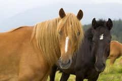 Two funny horses face you Royalty Free Stock Photo