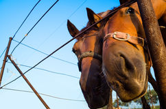 Two funny horses looking at camera Royalty Free Stock Photography