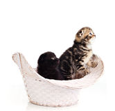 Two funny kittens Royalty Free Stock Photo