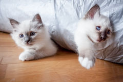 Two funny kittens playing Royalty Free Stock Photography