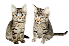 Two funny kittens striped  Royalty Free Stock Photos