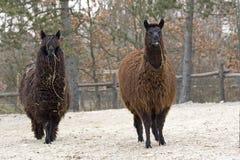 Two funny Lama glama or llamas Stock Images