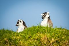 Two funny lemurs. Looking somewhere from the hill Royalty Free Stock Image
