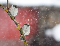 Two funny little birds sitting on a branch during a heavy snowfall Stock Images