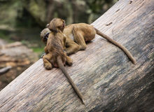 Two funny little cubs of Guinea baboon are playing on the tree t Royalty Free Stock Photography