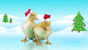 Two Funny little ducklings in Santa Claus hats, opens beak yawning. Winter day background with snowfall and Christmas tree, copy space stock footage