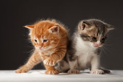 Two funny little red hair kittens. Two funny playful little red hair kittens playing with each other Royalty Free Stock Photos