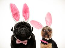 Two funny looking dogs wearing easter bunny ears. On white abckground royalty free stock image
