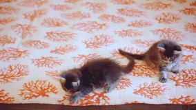 Two Funny Maine coon kittens move their heads back and forth. 1920x1080 stock video footage