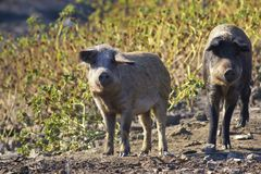 Two funny  Mangalica domestic pigs on the farm. Two Mangalica a Hungarian breed of domestic pig Stock Photography