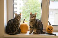 Two funny marble cats sittin on window with halloween pumpkins. Domestic tomcat sitting on windowsill and waiting for halloween celebration with two winter stock photography