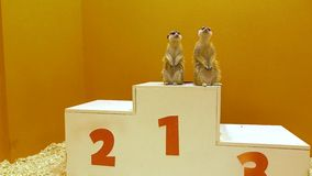 Two funny meercats sharing first place at victory podium. Leader, equality and winning concepts Stock Photo