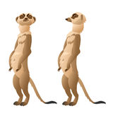 Two funny meerkat closeup on a white background Stock Images