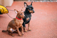 Two Funny Miniature Pinschers Pinchers Sitting Together Stock Image