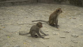 Two funny monkeys stock video footage