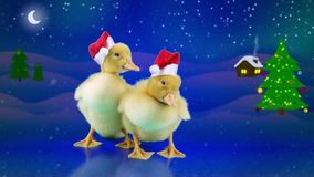 Two Funny newborn ducks in Santa Claus hats, opens beak yawning. Winter night background with Christmas tree version for keying in portfolio stock footage