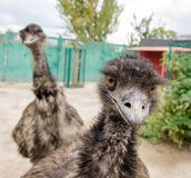 Two funny ostriches Stock Images