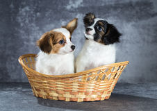Two funny Papillon puppy Royalty Free Stock Photos