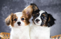 Two funny Papillon puppy. Sitting in a basket royalty free stock photos