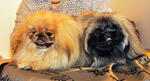 Two funny Pekingese dogs Stock Images