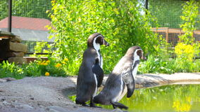Two funny penguins in summer day. Penguins walking through pond bank in summer park stock video