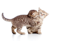 Two funny playful small kittens royalty free stock image